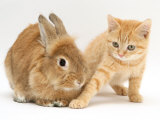 Ginger Kitten with Paw Extended and Sandy Lop Rabbit Prints by Jane Burton