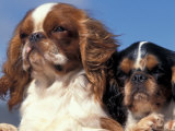 Two King Charles Cavalier Spaniel Adults Photographic Print by Adriano Bacchella