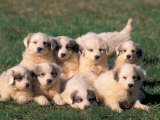 Domestic Dogs, Group of Eight Pyrenean Mountain Dog Puppies Fotografa por Adriano Bacchella