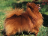 German Spitz (Klein) Standing in Show Stack / Pose Prints by Adriano Bacchella