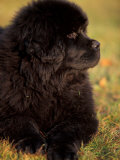Profile Portrait of Young Black Newfoundland Fotografa por Adriano Bacchella