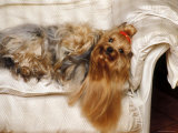 Yorkshire Terrier Lying on Couch Prints by Adriano Bacchella
