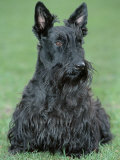 Scottish Terrier Photographic Print by De Meester
