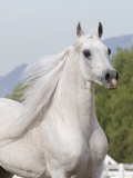 Grey Arabian Stallion Portrait, Ojai, California, USA Poster by Carol Walker
