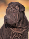 Black Shar Pei Puppy Portrait Showing Wrinkles on the Face and Chest Photographic Print by Adriano Bacchella