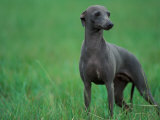 Slate Blue Whippet with Ears Drawn Back Photographic Print by Adriano Bacchella