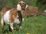 Domestic Goat, Grazing, USA Photographic Print by Lynn M. Stone