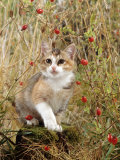 Domestic Cat, Tabby-Tortoiseshell Kitten Among Cocksfoot Grass, Horsetails and Rose Hips Posters by Jane Burton