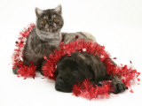 Smoke Exotic Kitten with Brindle English Mastiff Puppy Wrapped with Christmas Tinsel Print by Jane Burton