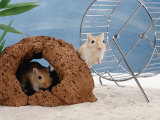 Gerbils at Play Photographic Print by  Steimer