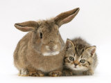 British Shorthair Brown Tabby Female Kitten with Young Agouti Rabbit Photographic Print by Jane Burton
