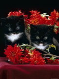 Domestic Cat, Persian-Cross Kittens with Chrysanthemums Photographic Print by Jane Burton