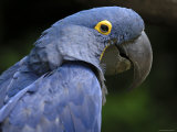 Hyacinth Macaw, Head Profile Photographic Print by Eric Baccega
