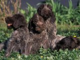 Korthal's Griffon / Wirehaired Pointing Griffon Puppies Resting / Playing in Grass Photographic Print by Adriano Bacchella