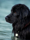 Black Newfoundland Standing in Water Psters por Adriano Bacchella