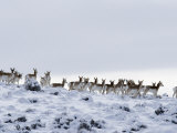 Pronghorn Antelope, Herd in Snow, Southwestern Wyoming, USA Posters by Carol Walker