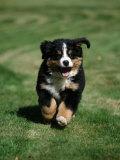 Bernese Mountain Puppy Running Fotografisk tryk af Petra Wegner