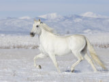 Grey Andalusian Stallion Trotting in Snow, Longmont, Colorado, USA Premium Photographic Print by Carol Walker