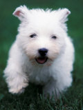 West Highland Terrier / Westie Puppy Walking Posters by Adriano Bacchella