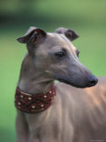 Fawn Whippet Wearing a Collar, Lookig Away Photographic Print by Adriano Bacchella
