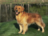 Golden Retriever (Canis Familiaris) Illinois, USA Photographic Print by Lynn M. Stone
