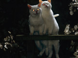 Two Kittens at Night Showing Reflection of Light in Tapetum of Eyes, One Kitten Odd-Eyed Photo by Jane Burton