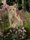 Domestic Cat, Cream Burmese-Cross Cat Among Foxgloves Photo by Jane Burton