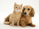 Cream Kitten with Cream Dapple Dachshund Puppy Photo by Jane Burton