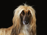 Afghan Hound Dog Premium Photographic Print by  Steimer