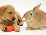 Yellow Labrador Retriever Puppy with Squeaky Toy-Carrot and Young Sandy Lop Rabbit Póster por Jane Burton