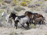 Group of Wild Horses, Cantering Across Sagebrush-Steppe, Adobe Town, Wyoming Foto di Carol Walker