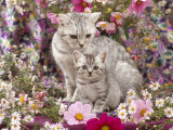 Domestic Cat, British Shorthaired Silver Spotted Tabby with Her 8-Week Kitten Among Flowers Posters by Jane Burton