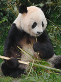 Giant Panda, Eating Bamboo Photographic Print by Eric Baccega
