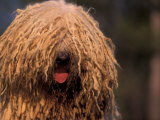 Hungarian Sheepdog / Komondor Face Photographic Print by Adriano Bacchella