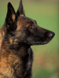 Belgian Malinois / Shepherd Dog Profile Portrait Photographic Print by Adriano Bacchella