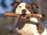 Staffordshire Bull Terrier Carrying Stick in Its Mouth Foto von Adriano Bacchella