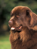Brown Newfoundland Portrait Lminas por Adriano Bacchella