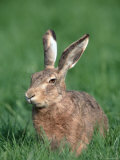 European Hare Photographic Print by Petra Wegner