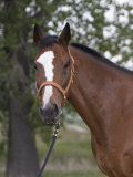 Bay Thoroughbred Gelding with Headcollar and Lead Rope, Fort Collins, Colorado, USA Poster by Carol Walker