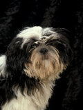 Shih Tzu with Hair Cut Short Premium Photographic Print by Adriano Bacchella