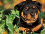 Rottweiler Puppy in Leaves Poster by Adriano Bacchella