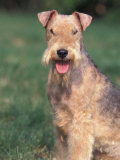 Lakeland Terrier Portrait Photographic Print by Adriano Bacchella