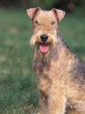 Lakeland Terrier Portrait Premium Photographic Print by Adriano Bacchella