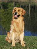 Domestic Dog Sitting Portrait, Golden Retriever (Canis Familiaris) Illinois, USA Photographic Print by Lynn M. Stone