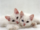 Domestic Cat, Two White Persian-Cross Kittens, One Odd-Eyed Posters by Jane Burton