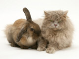 Fluffy Grey Cat Cuddled up with Dwarf Lionhead Rabbit Photographic Print by Jane Burton