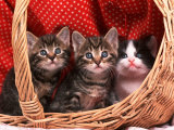 Domestic Kittens in Basket Photographic Print by  Lucasseck