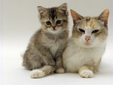 Domestic Cat, Silver Tortoiseshell-And-White Mother with Her 8-Week Tabby Kitten Prints by Jane Burton