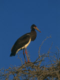 Abdims Stork, at Top of Tree, Kgalagadi Transfrontier Park, South Africa Print by Pete Oxford