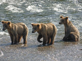 Three Grizzly Bear, Cubs (2-Year) Salmon Brooks River, Katmai National Park, Alaska, USA Photographic Print by Eric Baccega